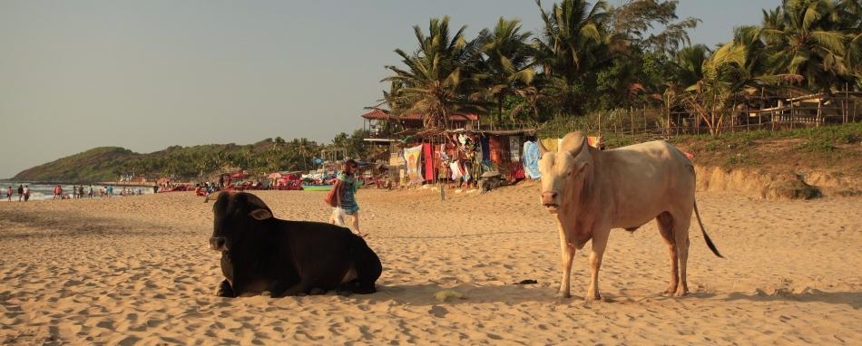 Koeien op het strand - India