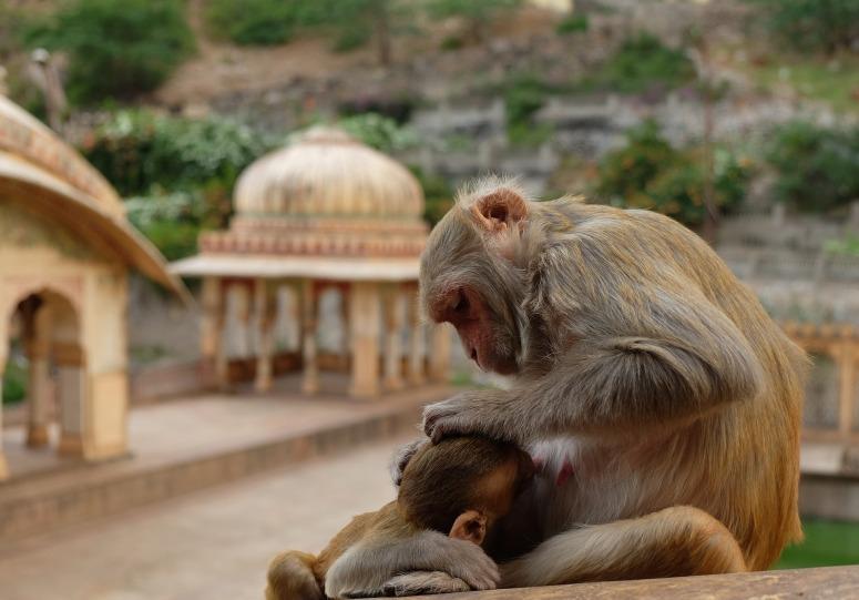 monkeys-2430510_1920.jpg