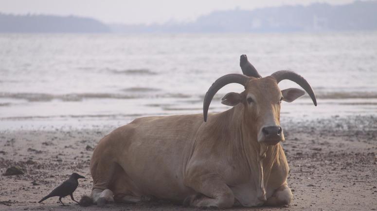 Koe Goa