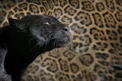 leopard-1147989_1920.jpg