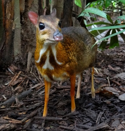 Mouse-deer_Singapore_Zoo_2012