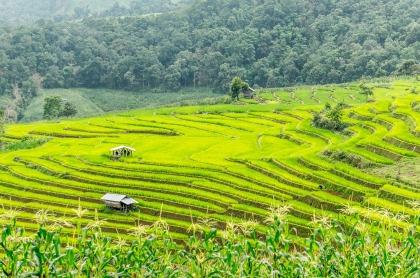 Rijstvelden Chiang Mai