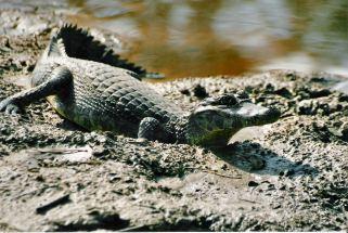 Caiman krokodil Amazone Brazilië