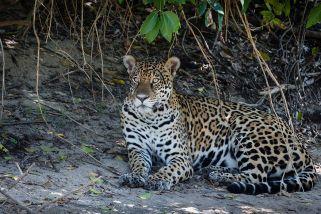 Jaguar Amazone Brazilië