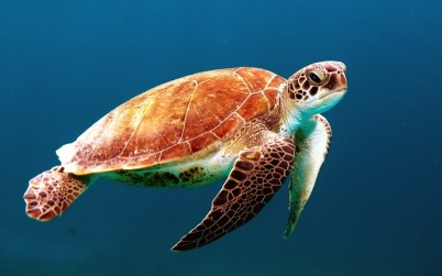 Zeeschildpad Praia do Forte Brazilië