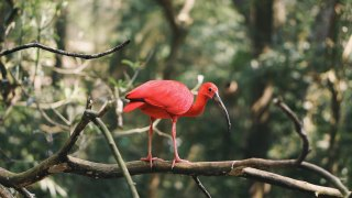 Rode ibis Brazilië, Parque das Aves