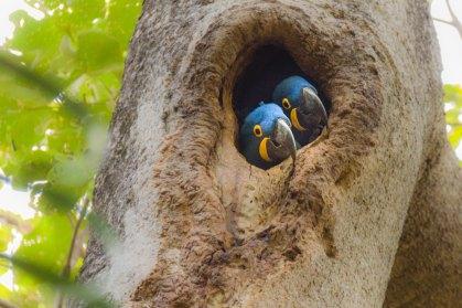 Ara's Pantanal Brazilië