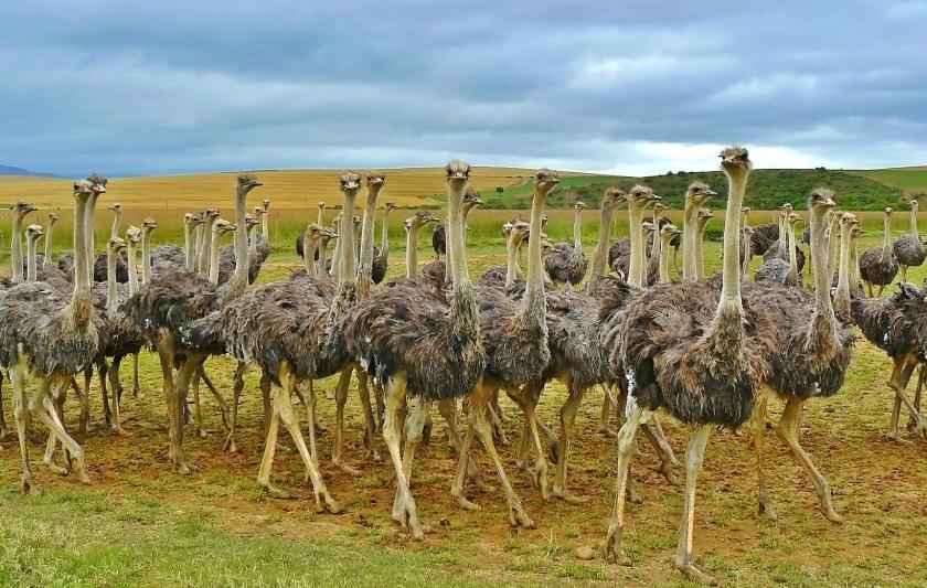 Struisvogel farm Oudtshoorn Zuid-Afrika